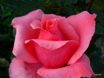 Масло от рози