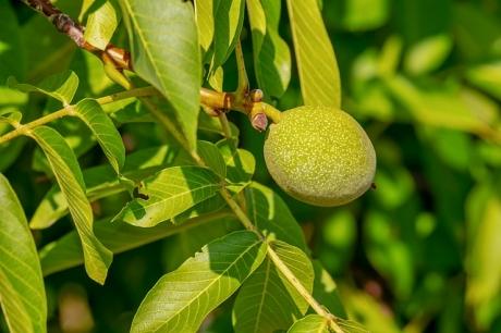 Черупки от зелени орехи